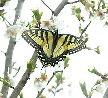 Tiger Swallowtail on Cherry Blossoms by StarryGardens