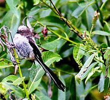 Juvenile long tailed tit by missmoneypenny