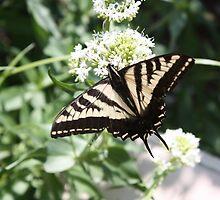 Tiger Swallowtail by jmethe