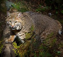 Bobcat by RandyHume
