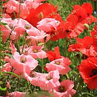 Pink and red Poppies by DAVE SNEYD