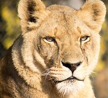 629 lioness by pcfyi