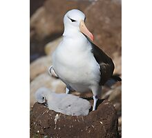 Black-browed Albatross Nesting - Saunders Island, the Falklands Photographic Print