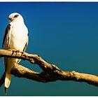 Black Shoulderd Kite by Pete Evans