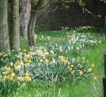Spring Daffodils in Southern England by Joliidea