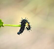 Peacock butterfly caterpillar by missmoneypenny