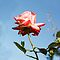 A Rose Against the Sky (Member Request)