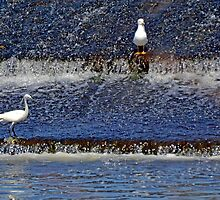 Birds at the Weir at Exeter,Devon UK  by lynn carter