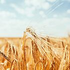 Golden field by Hudolin