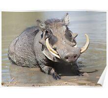 Warthog - African Wildlife Background - Summer Swim Poster