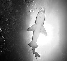 Grey nurse shark, Broughton Island by Emma M Birdsey