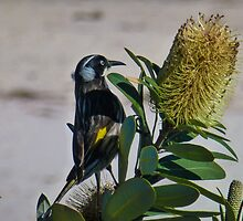Honey eater at work by indiafrank