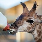 a baby giraffe is bottle fed by Fiona Ayerst