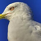 Seagull Portrait by imagetj