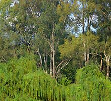Gums amongst the willows by ndarby1