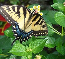 Tiger Swallowtail on Lantana Flowers by StarryGardens