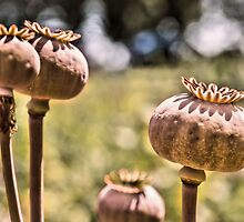 Poppy Seed Heads by JEZ22