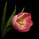 Pink Two Tone Tulip by AnnDixon