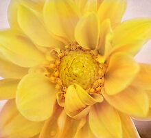 Dahlia by Allport Photography