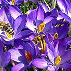 Crocus 'restaurant' by globeboater