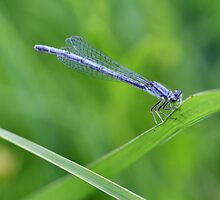 Blue Dragonfly by Keala