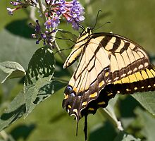 Eastern Tiger Swallowtail by Otto Danby II