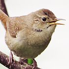 House Wren  by lorilee