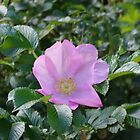 Pillow - English Wild Rose by Francis Drake