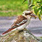 Currarong Kookaburra by Michael Matthews