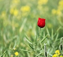 One Red Poppy by Vicki Field