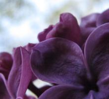 Oregon Lilac Sticker