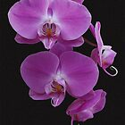 Pink Orchids by Dennis Reagan