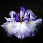 Iris Elegance by Jessica Jenney