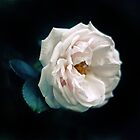 White Rose by Jessica Jenney