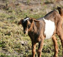 Face of a Young Goat by rhamm