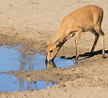 Duiker - African Wildlife Background - Blue Pleasure by LivingWild
