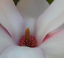 Magnolia in spring time by Michelle Neeling