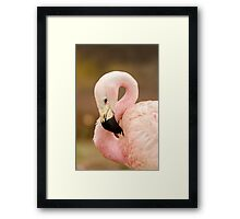 Chilean Flamingo Framed Print