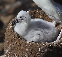 Black-browed Albatross Chick by Carole-Anne