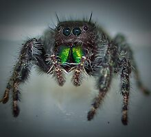 Jumping Spider by RandyHume