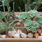 Winterizing succulents by Maree  Clarkson