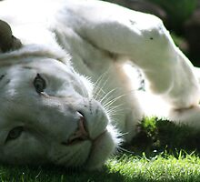 Sleepy White Tiger by ellismorleyphto