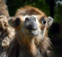 Cute Camel In Your Face  by Clayton Suares