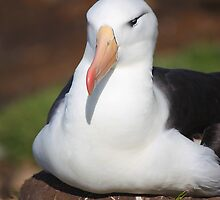 Black-browed Albatross Nesting by Carole-Anne
