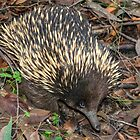 Echidna, Triplet Falls, Otway National Park, Victoria by Adrian Paul