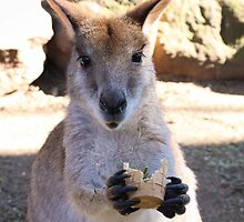 Hungry Hungry Wallaby - Featherdale Wildlife Park by Andrew Dodds