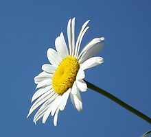 Daisy Against Blue Background by emilysmithart