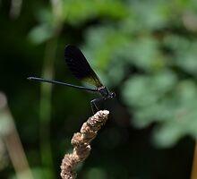 59 - libellula by giorgenko