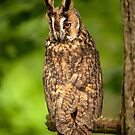 Long Eared Owl by Norfolkimages