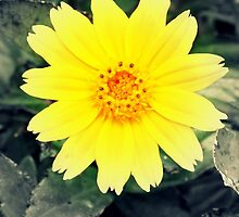 Yellow Flower by kfisi